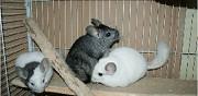 B�b�s chinchillas � adopter luxeuil les bains