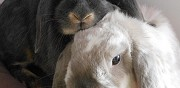Couple de lapin � adopter saint ouen l'aum�ne