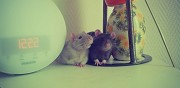 Reproduction rat siamois cr�me dammarie les lys