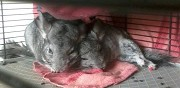 Vends chinchilla gris standard bordeaux