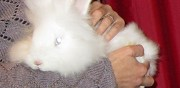 Vends lapin angora fran�ais paris