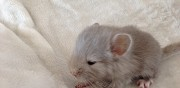 Vends trois b�b�s chinchillas galargues