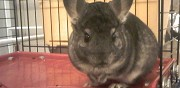 A donner chinchilla femelle 2 ans courbevoie
